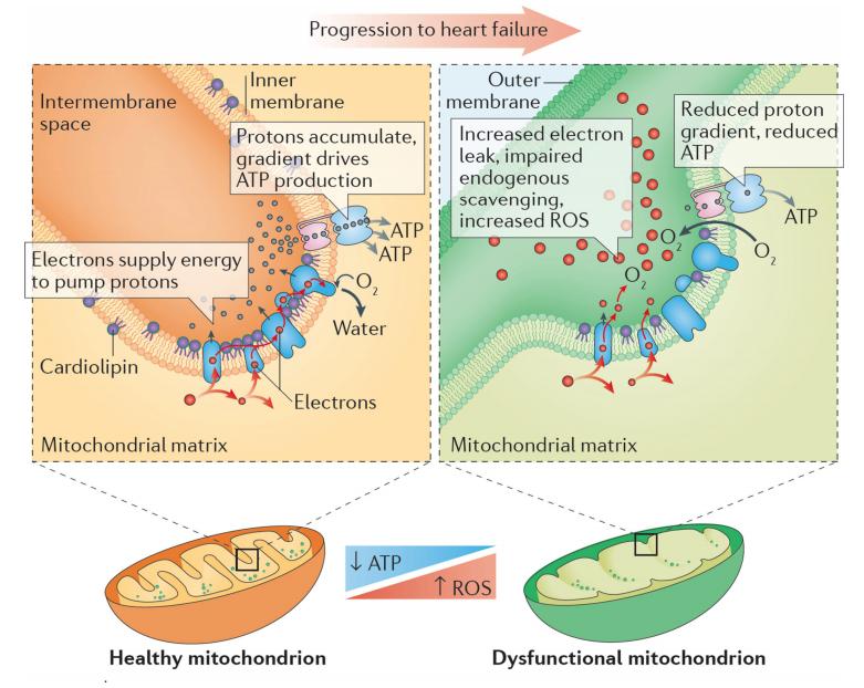 Envejecimiento y salud cardiovascular (parte II). Reconquistando al corazón a través de la debida atención mitocondrial