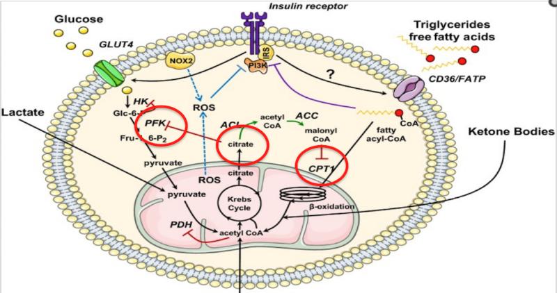 Mitocondrias en la degradación y formación de ácidos grasos