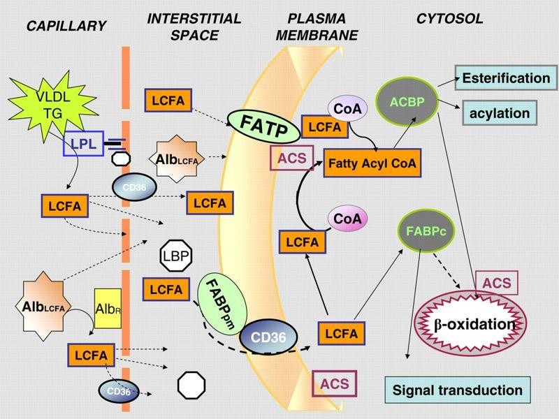 Metabolismo de los Lípidos: Inactividad y Ejercicio Físico