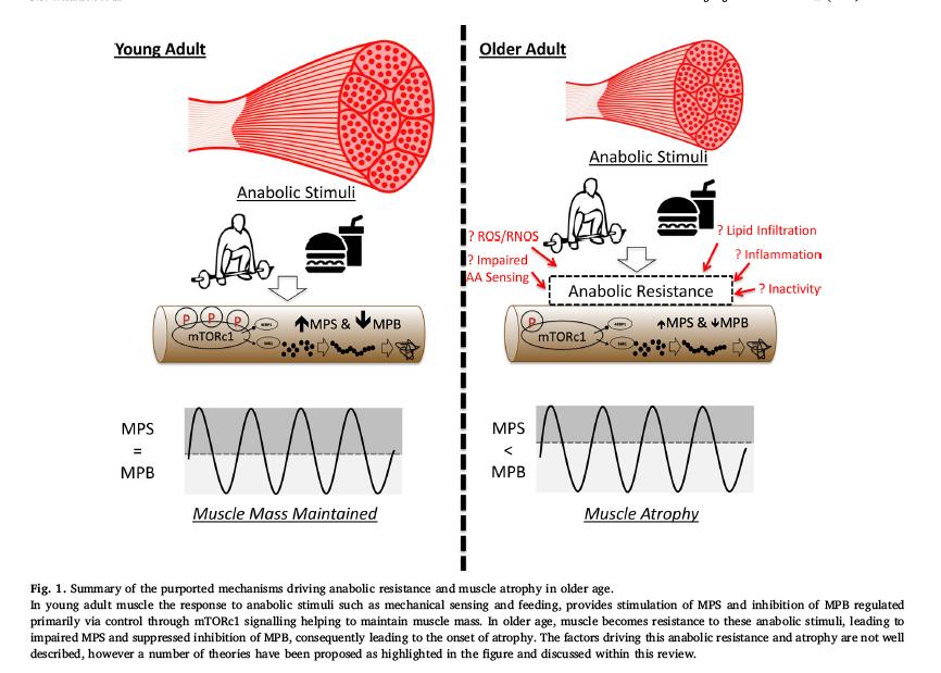 La lucha contra la degradación proteica muscular por envejecimiento