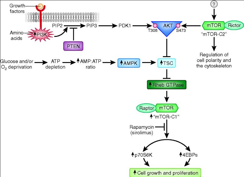 AMPK en su función sensora energética vs la mTORC1