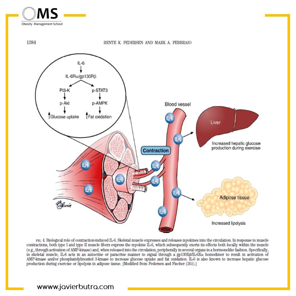 El músculo como factor fundamental en la pérdida de peso y en la obesidad.