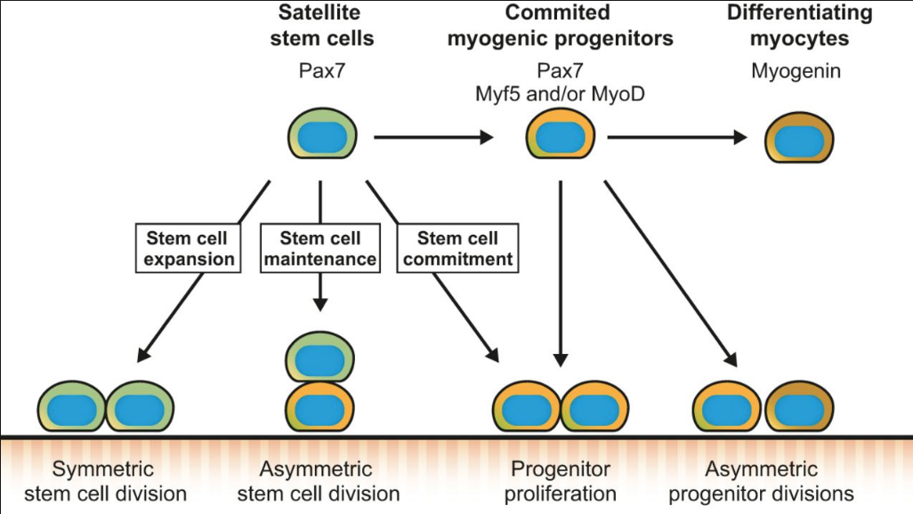Células satélite musculares