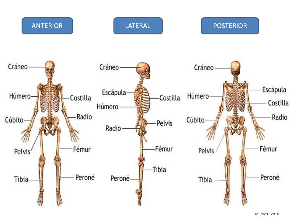 03 - Esqueleto y huesos