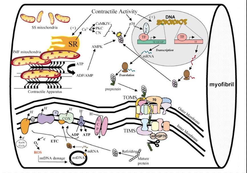 Ayuno, ejercicio y función mitocondrial