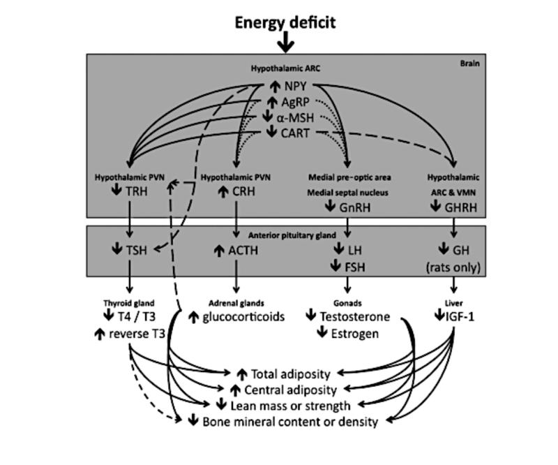 Las dietas hipocalóricas en los deportistas. Respuestas hormonales frente a la restricción energética