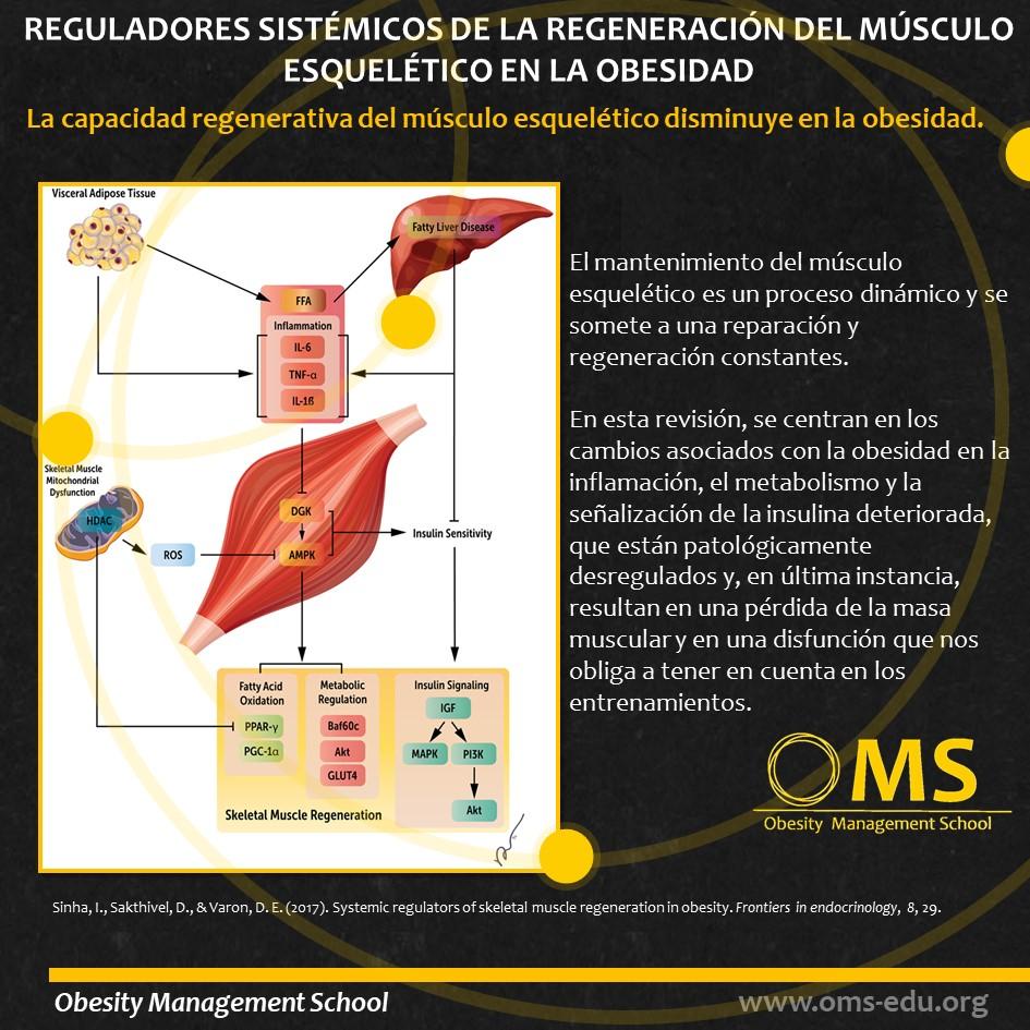 Reguladores sistémicos de la regeneración del músculo esquelético en la obesidad