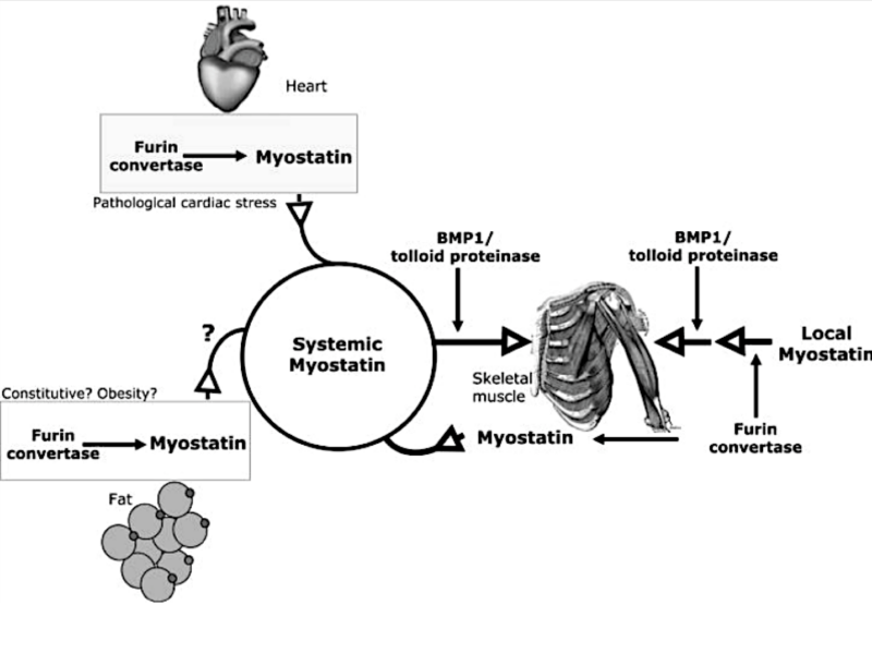 Enfermedad cardíaca, ejercicio y miostatina. La baja intensidad en la actividad aeróbica como aliada de la visita al cardiólogo