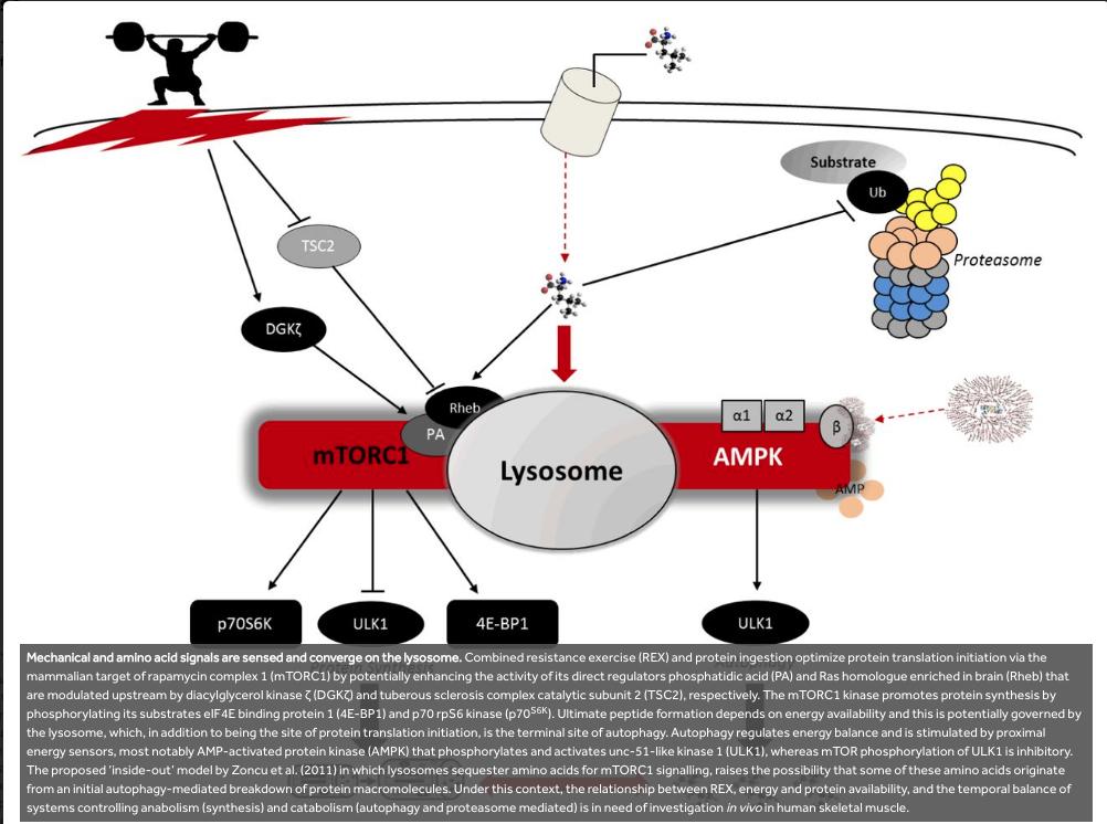 Entrenamiento de fuerza y síntesis proteica