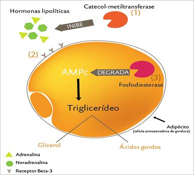 Las catecolaminas y su rol en el ejercicio intermitente.