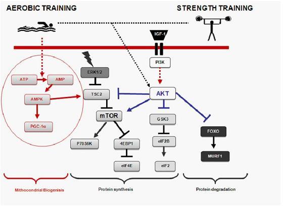¿El ejercicio de fuerza mejora el señalamiento de la biogénesis mitocondrial inducido por el ejercicio aeróbico en el músculo humano?