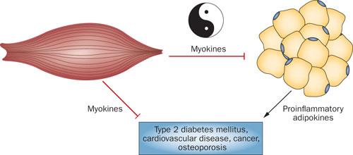 Papel de la Producción de Miokinas a través del Ejercicio