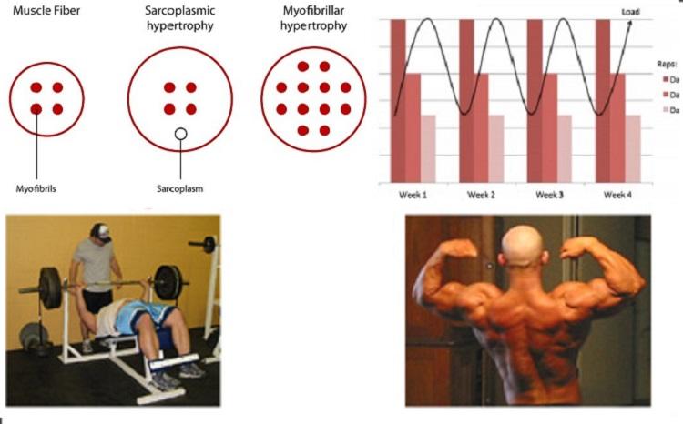 Patrones diferentes en la fuerza muscular y adaptaciones de la hipertrofia en individuos desentrenados que son sometidos a regímenes de fuerza no-periodizados y periodizados.