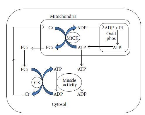 Ck enzima normales valores de