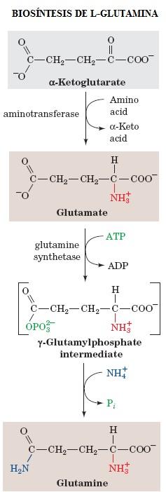 Biosíntesis de L-Glutamina