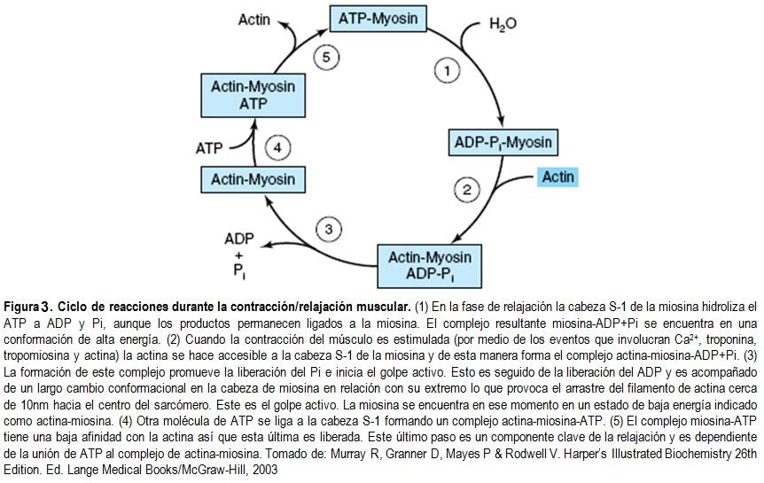 Contracción Muscular Tipos De Músculos Dbss