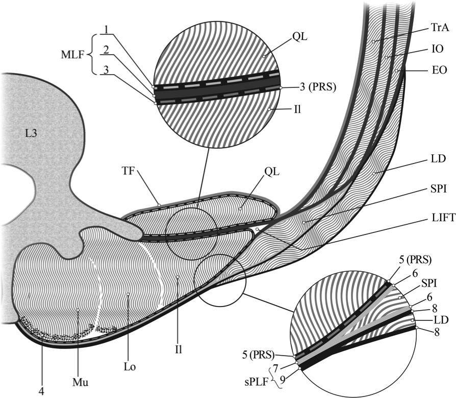 La Fascia Toraco-Lumbar: descripción y rol en la estabilización del ...