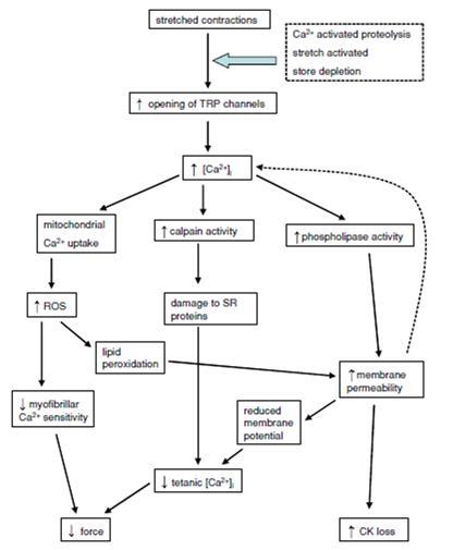 Papel del calcio en el daño muscular. (Allen, Whitehead, & Yeung, 2005)