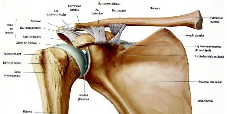Imagen 2: Articulación escapulohumeral