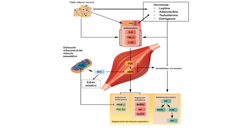 Figura modificada de Sinha et al. (2017). Systemic regulators of skeletal muscle regeneration in obesity