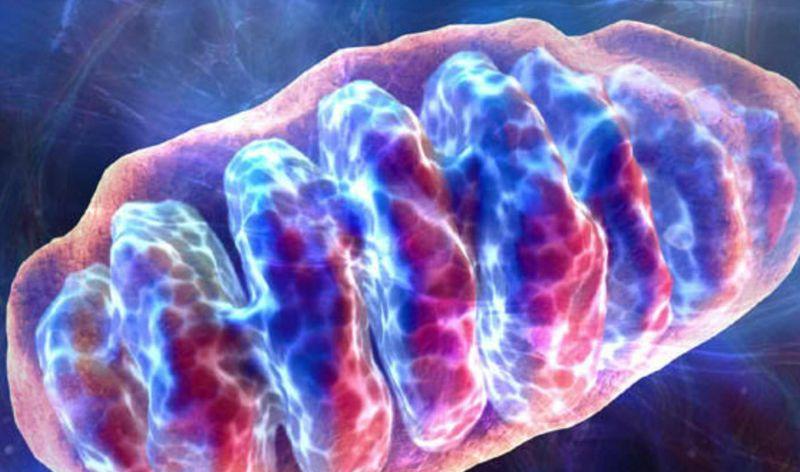 Resumen: Adaptaciones de las mitocondrias de los músculos esqueléticos a la obesidad