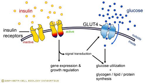 Cómo afecta el ejercicio de Fuerza sobre los GLUT4: importancia en sujetos diabéticos.