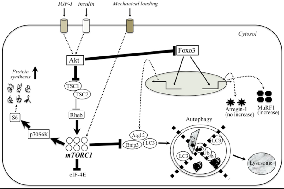 Vías moleculares activadas en situación de ayuno