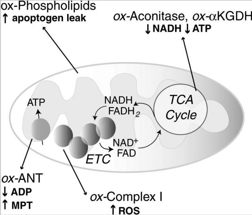 La mitocondria como organela multifunción