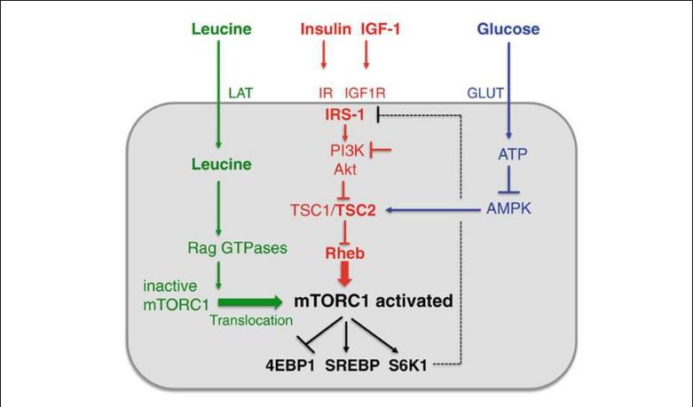 Glutamina, leucina y arginina en su acción sobre la mTOR