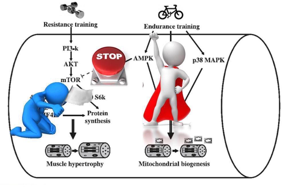 Entrenamiento concurrente y desentrenamiento: la influencia de diferentes intensidades aeróbicas