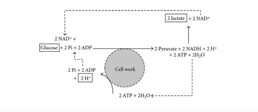 Acople glucolítico (Parte 2) Aclarando la glucólisis, el lactato y el rol mitocondrial en la reacción glucolítica