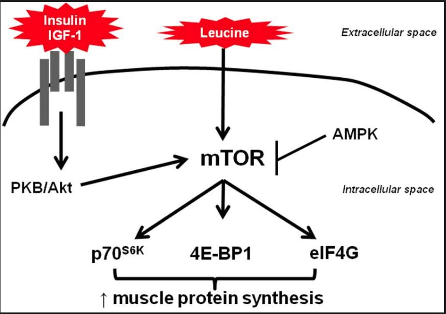mTOR, entrenamiento de fuerza hipertrófico y timing de nutrientes