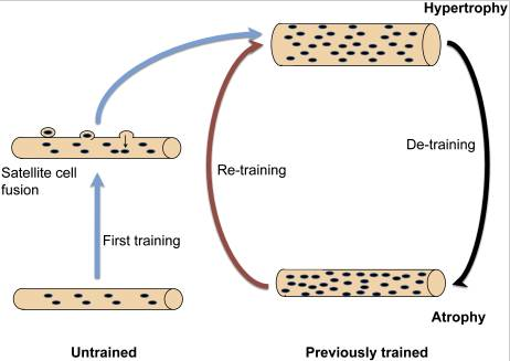 El entrenamiento muscular hipertrófico