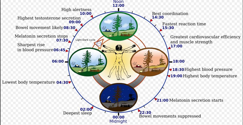 Disrupciones circadianas por obesidad