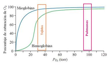 Importancia de la Mioglobina (Mb) durante el ejercicio intermitente.