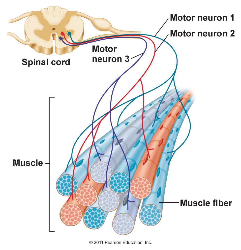 Inervación del Músculo Esquelético y Tipos de Fibras Musculares