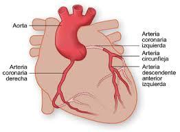 Circulación e irrigación cardíaca