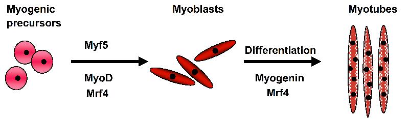 MAPKs y Factores Reguladores Miogénicos