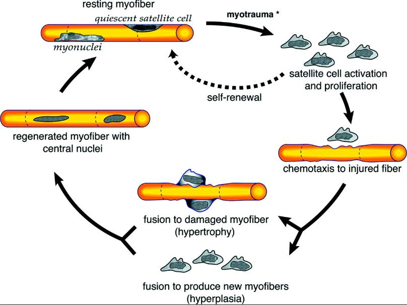 Células musculares satélites