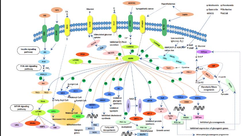 La AMPK y sus isoformas en las fibras musculares. Explicando el HIIT