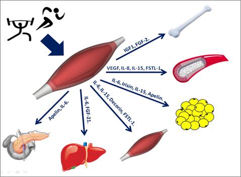 Ejercicio, tejido muscular y prevención de trastornos metabólicos