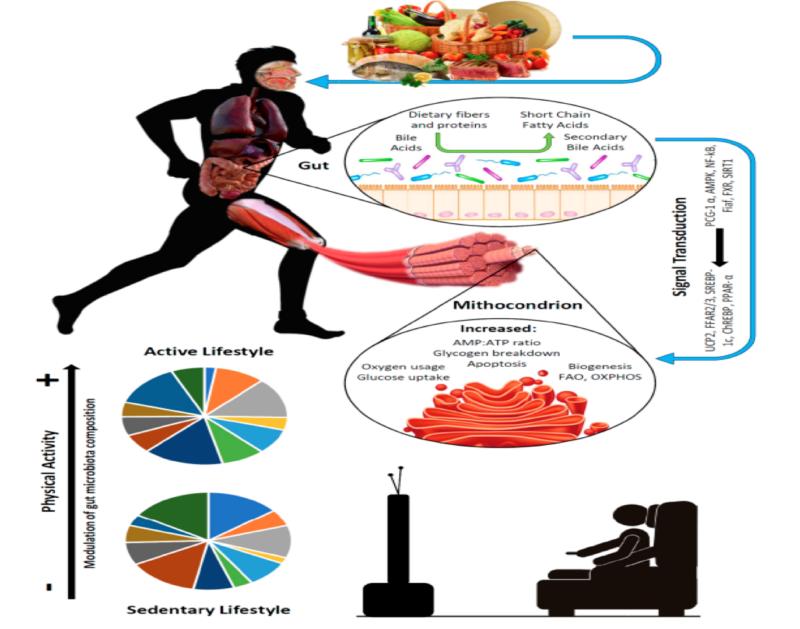 Microbiota intestinal, ejercicio y sarcopenia. Parte 2