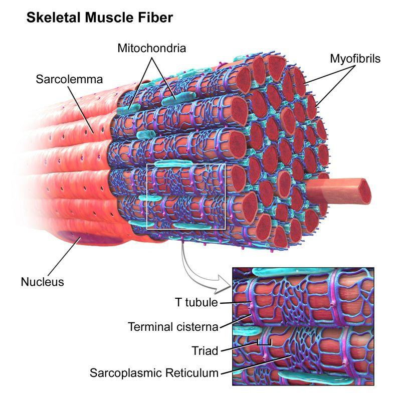 Análisis Estructural del Músculo Esquelético