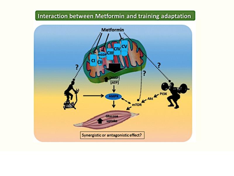 Sarcopenia, células satélite, mitocondrias, ADN y Metformina.