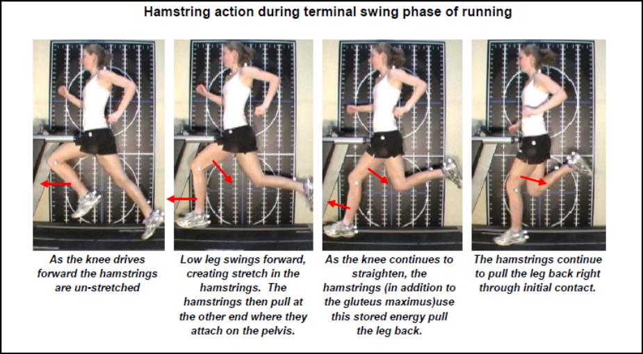 Acción de los isquiotibiales durante las diferentes fases de la carrera