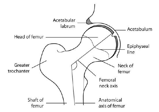 Revisión sobre la anatomía y biomecánica  de la cadera