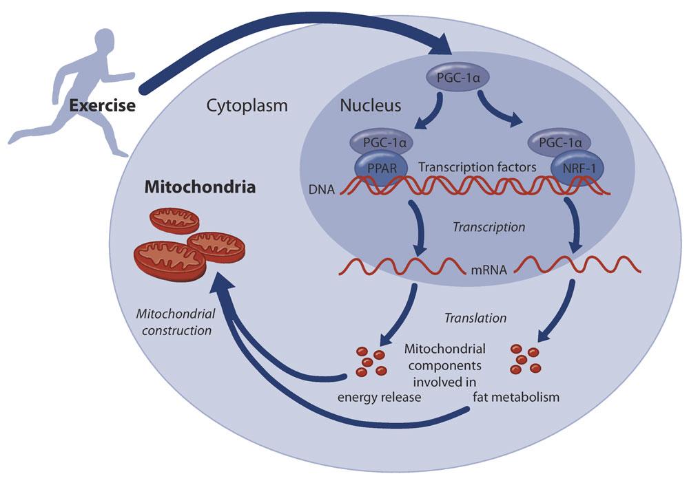 Diabetes, mitocondrias y ejercicio