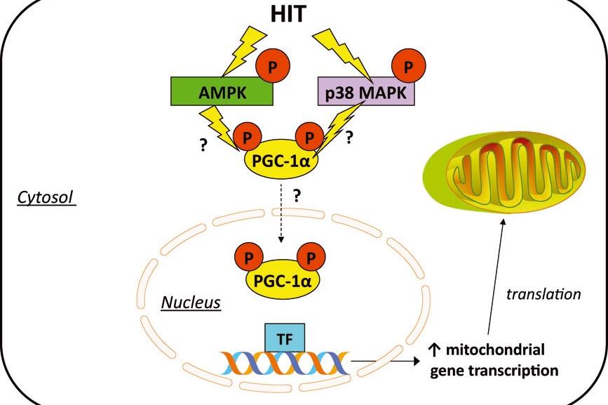 Potenciales mecanismos de señalización intracelular implicados en la biogénesis mitocondrial inducida por el HIT